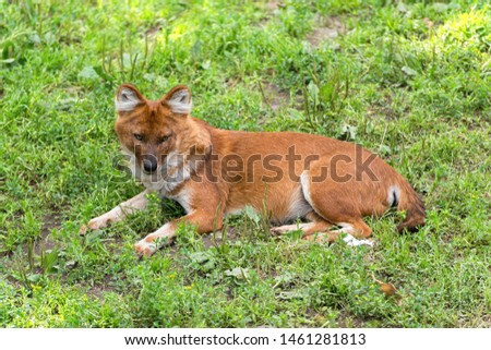 The dhole (Cuon alpinus) is a canid native to Central, South, and Southeast Asia. Other English names for the species include Asian wild dog, Asiatic wild dog, Indian wild dog, #1461281813