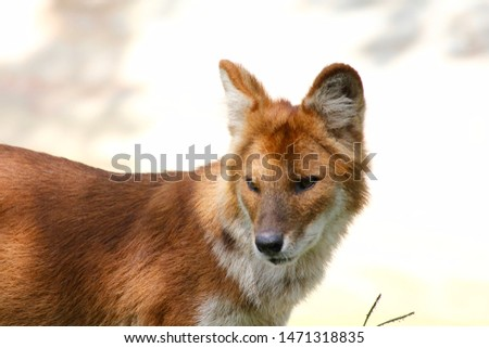 The Dhole is a shy animal. Also known as the Asian Wild Dog they are in danger of becoming extinct due to overpopulation, and irresponsible ecology practices.  #1471318835