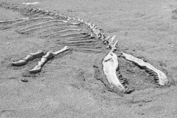 The dinosaur skeleton