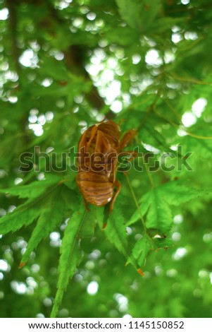 The discarded cicada insect shell left clinging on a branch of maple tree. After living underground for years, finally shed its nymph exoskeleton, the imago will die within few weeks. Close up.