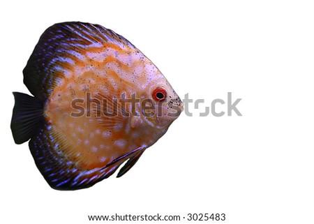 the discus fish in 200 l aquarium, serial shooting