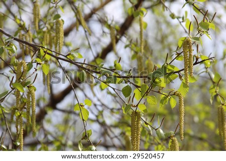 The dismissed birches of a branch in the spring