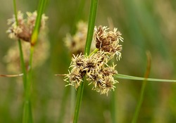 The distinctive inflorescence of the Blunt-flowered Rush. This rush is a tall erect plant of infertile soils, heaths, dunes and marshes. They have been widely used since ancient times for thatching