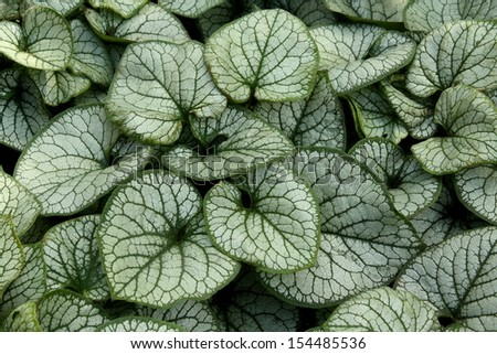 The distinctive silver and green leaves of Brunnera Macrophylla, an outdoor plant also known as Siberian Bugloss