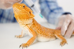 The doctor veterinarian herpetologist makes a syringe injection inoculation of a Bearded Dragon (Agama orange lizard).