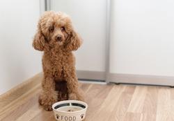 the dog (apricot poodle) not eat dog food