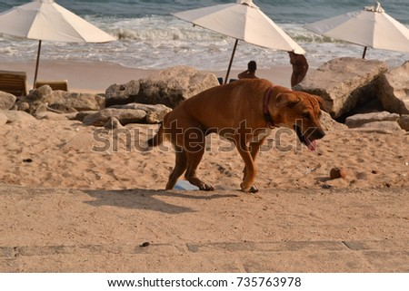The dog at one beach in Bali, Indonesia. The paradise island famous for its nature and culture. Pic was taken in January 2016.