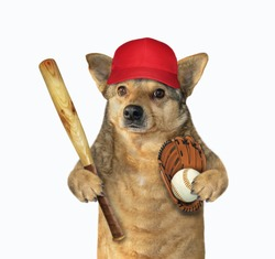 The dog baseball player in a red cap holds a bat, a ball and a glove. White background. Isolated.