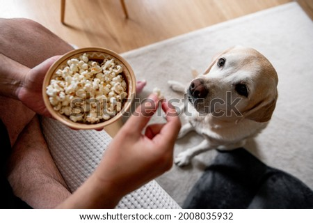 The dog begs for food. Labrador is a glutton. An elderly dog. Stock photo ©