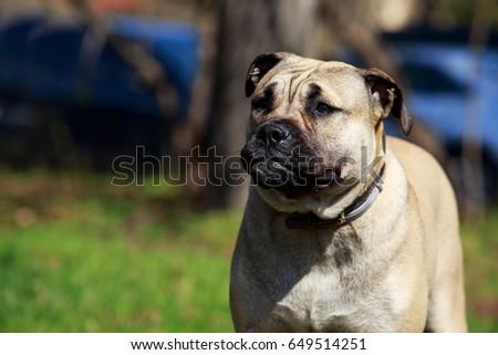 Shutterstock The dog breed Perro De Presa on a green grass
