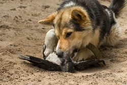 the dog caught a crow and eats its prey in the sand