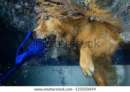 The dog diving and bite the ball in the pool, underwater view.