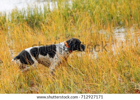 the dog english pointer hunting on the swamp, using GPS-collar  #712927171