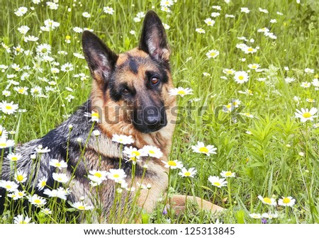 The dog, German shepherd lies on a glade in a green grass and flowers, in white daisies