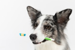 The dog holds a toothbrush in its mouth and reminds you to brush your teeth. Border Collie dog in shades of white and black, and long and fine hair. An excellent herding dog.