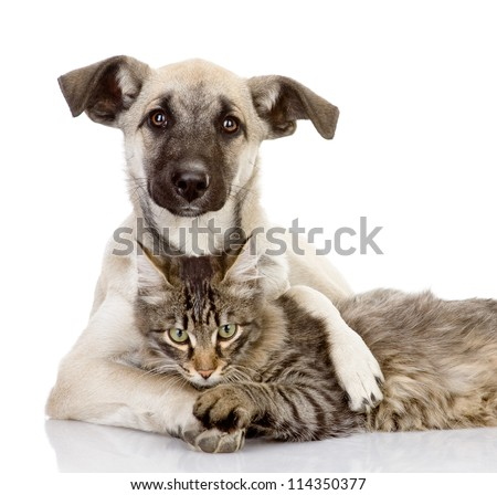 Shutterstock the dog hugs a cat. isolated on white background