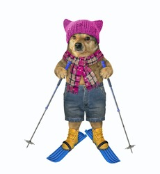The dog in a knitted hat, a scarf and shorts with ski poles is skiing. White background. Isolated.