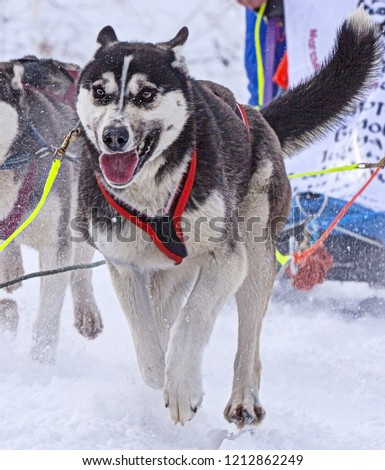the dog in  harness pulling a sleigh competitions in winter #1212862249