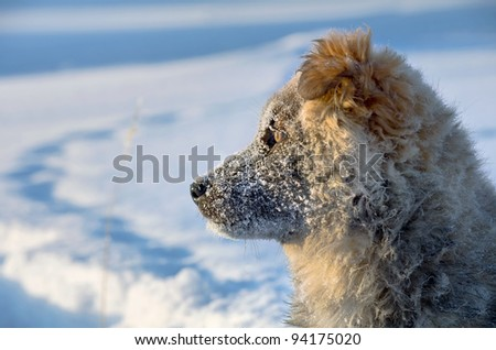 The dog in the snow watching the rising sun. Puppy stray dogs.