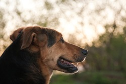 The dog is a pet, one of the most popular. Placental mammal of the order of the carnivorous canine family.