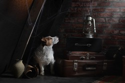 the dog is hiding in the attic. Art photos. Self-isolation, old, dusty. Pet abandoned. Jack Russell Terrier