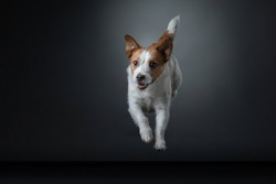 the dog is jumping. Active jack russell terrier in the studio on gray background