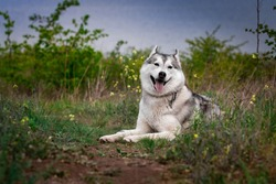The dog is lying on the grass. Portrait of a Siberian Husky. Close-up. Resting with a dog in nature. Landscape with a river.