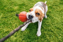 the dog is playing on the lawn. beagle puppy pulls a toy rubber ball on the rope with his teeth