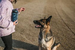 the dog is sitting in front of the girl. the girl has a treat pouch and a treat in her hands, and the german shepherd is very focused on the treat. dog training is very important for good manners.