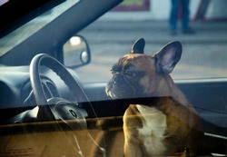The dog is sitting in the inside of the manishina. The dog looks sideways, to the left. The pet is alone in a closed car in front of the window. A thoroughbred dog guards the car. French bulldog.