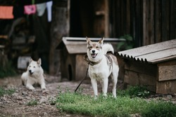 The dog Laika stands near a booth in the village on a chain with a blurred background