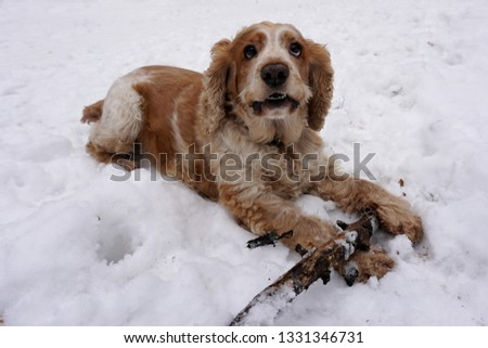 The dog lies in the snow and guards a knotty stick.