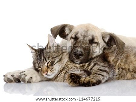 the dog lies on a cat. isolated on white background 5845