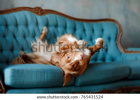 the dog lies on the blue couch. The pet is resting. Nova Scotia Duck Tolling Retriever, Toller #765431524