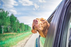 The dog looks out of the car