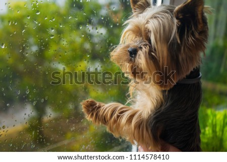 The dog looks out the window #1114578410
