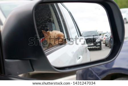 the dog looks out the window from the car. #1431247034