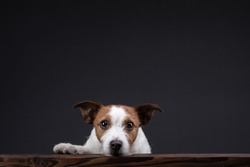 the dog peeks out of the table. little Jack Russell Terrier in the studio on a dark background