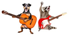 The dog plays the acoustic guitar and the raccoon plays the electric guitar isolated on white background