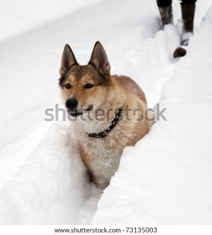 The dog pursues prey on snow