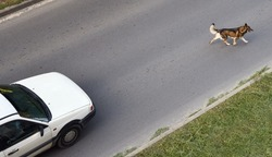 The dog runs across the road in front of the car. View from above.