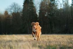 the dog runs in the field. Active pet in nature. Nova Scotia Duck Tolling Retriever, Toller