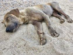 The dog sleep on sand beach, tired feel and thin skinny