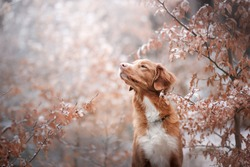 the dog sniffs the leaves. Close-up portrait of snow and autumn leaves. Nova Scotia Duck Tolling Retriever, Toller