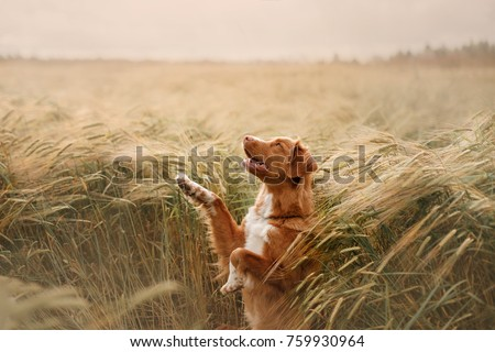 the dog waves his paw in a field of wheat. breed Nova Scotia Duck Tolling Retriever, Toller #759930964