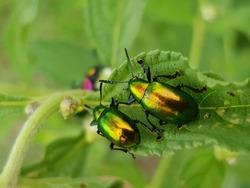 The Dogbane beetle of eastern North America