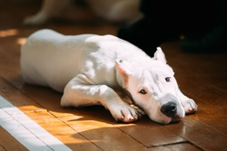 The Dogo Argentino also known as the Argentine Mastiff is a large, white, muscular dog that was developed in Argentina primarily for purpose of big-game hunting, including wild boar. White puppy dog