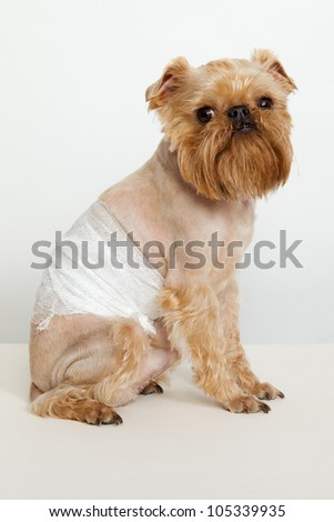 The dogs  breed Griffon Bruxellois back pain