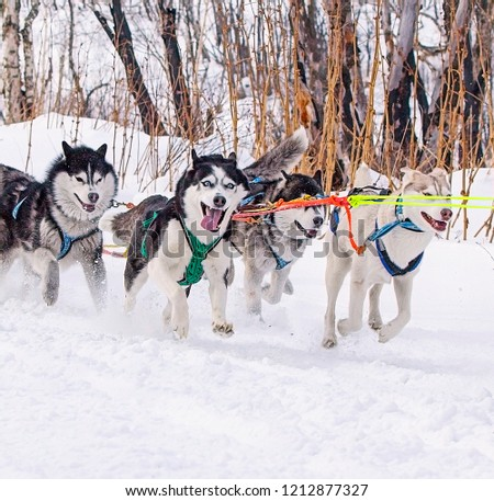 the dogs in harness pulling a sleigh competitions in winter #1212877327