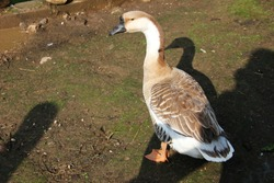 The domestic goose on the yard. Sunny day in the village. The evening